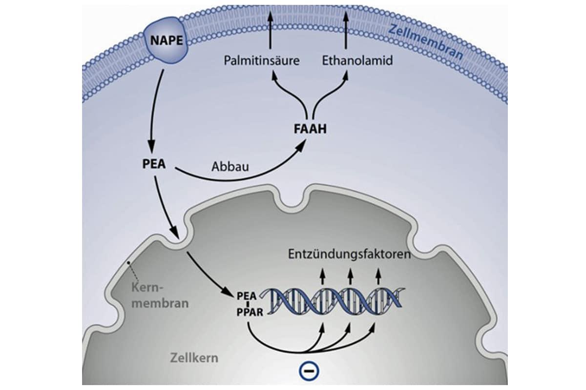PEA Palmitoylethanolamid